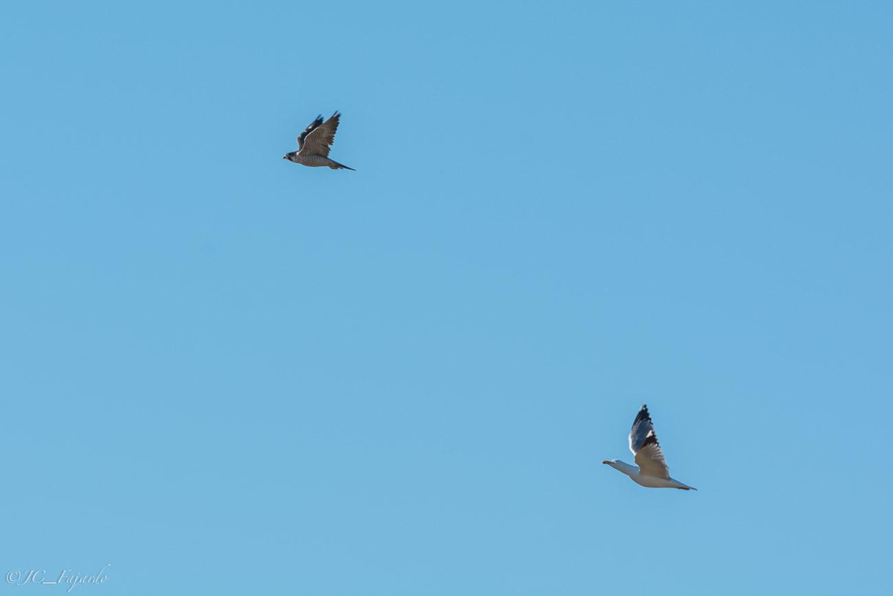 Gaviota Patiamarilla / Larus Michahellis & Halcón Peregrino / Falco peregrinus