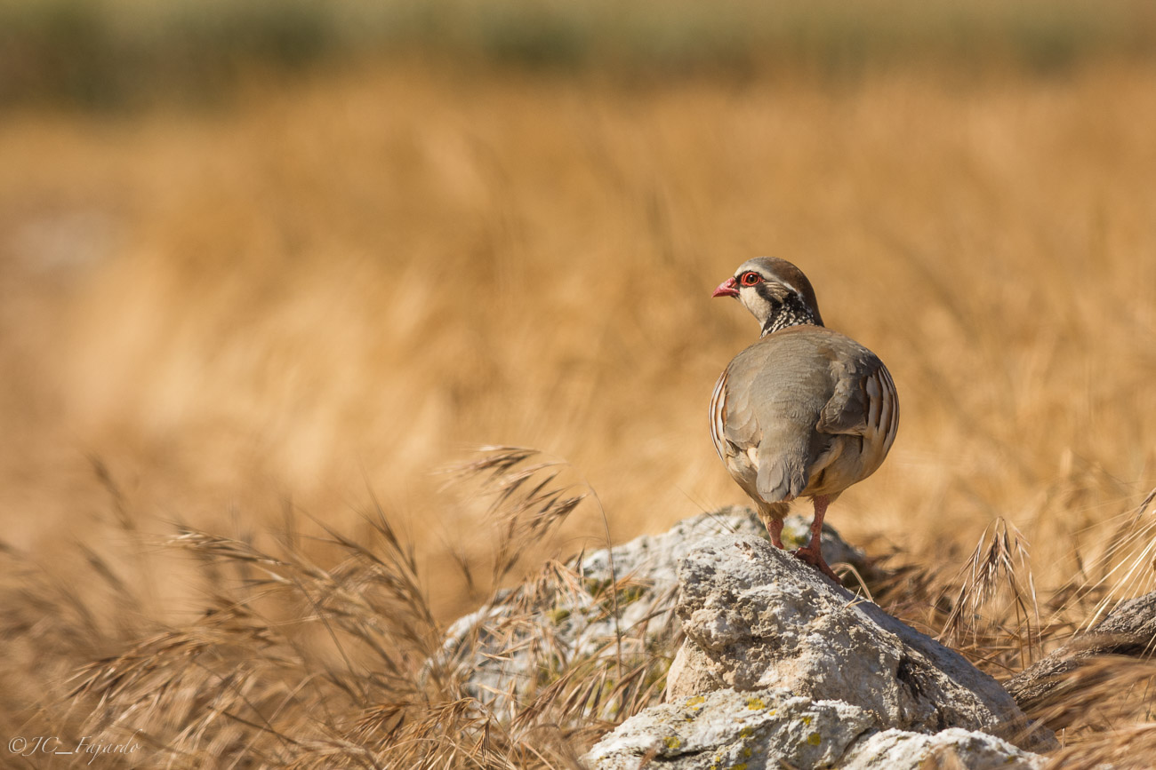 Perdiín roja, Red-legged partridge, Alectoris rufa