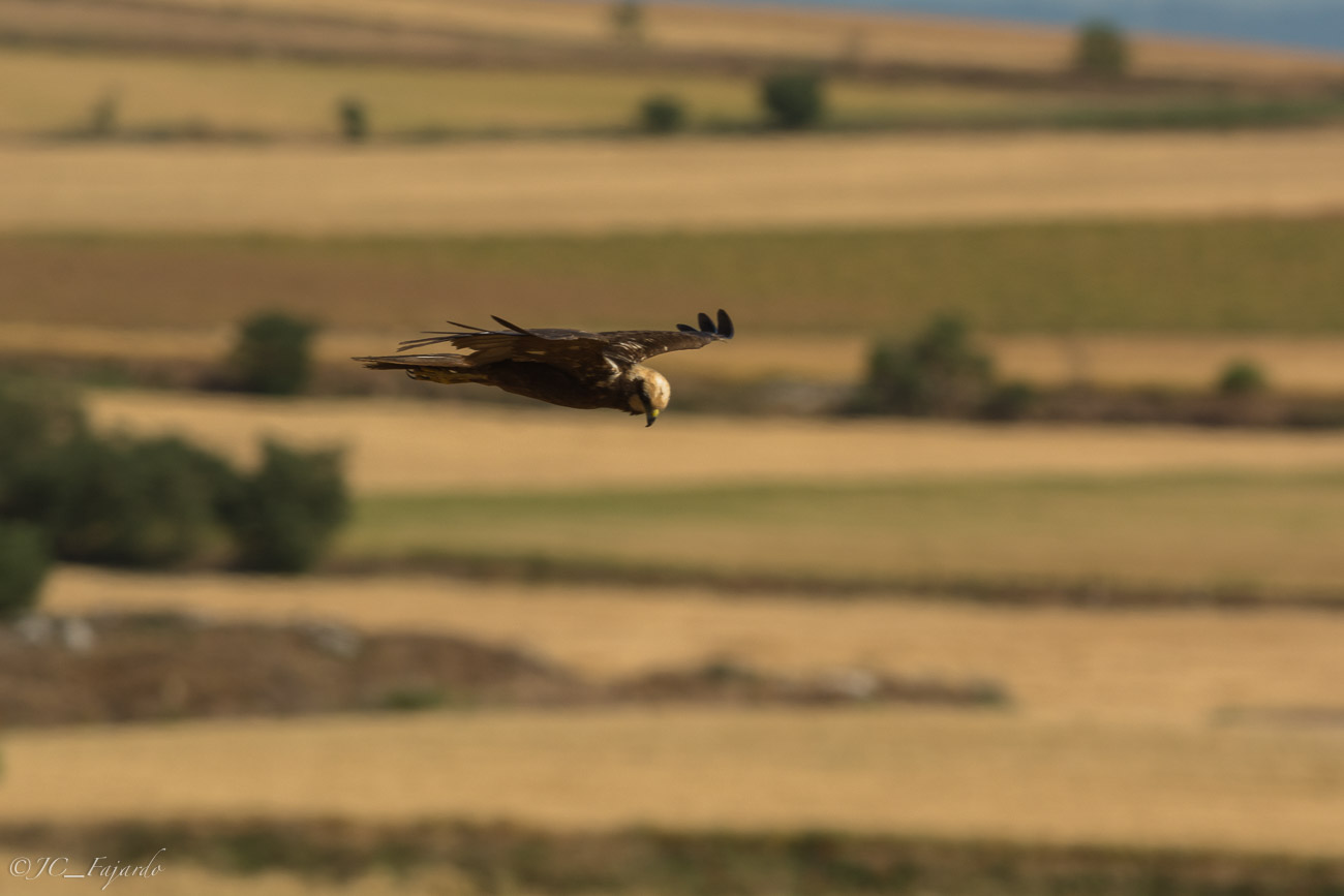 Aguilucho lagunero occidental, Marsh harrier, Circus aeruginosus