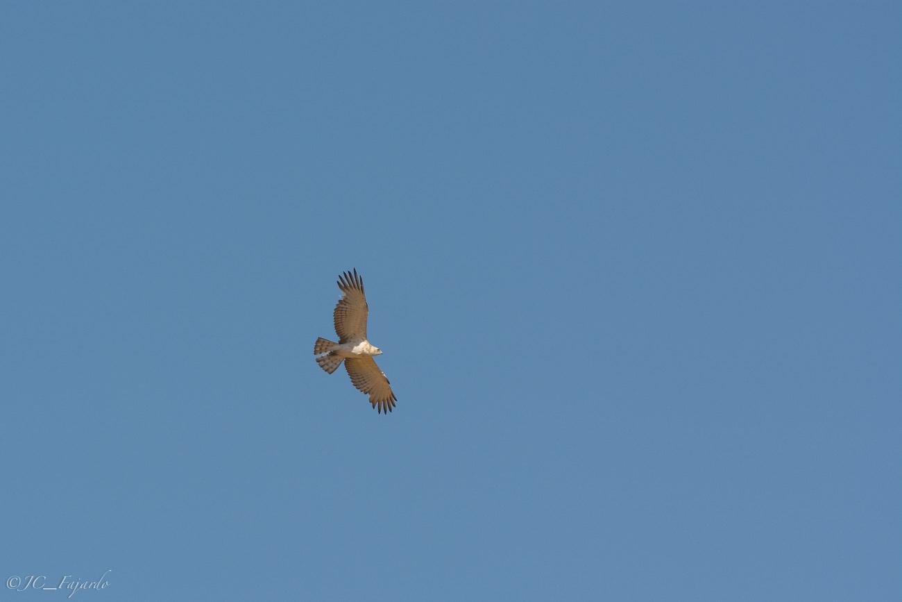 Culebrera europea, Short-toed eagle, Circaetus gallicus