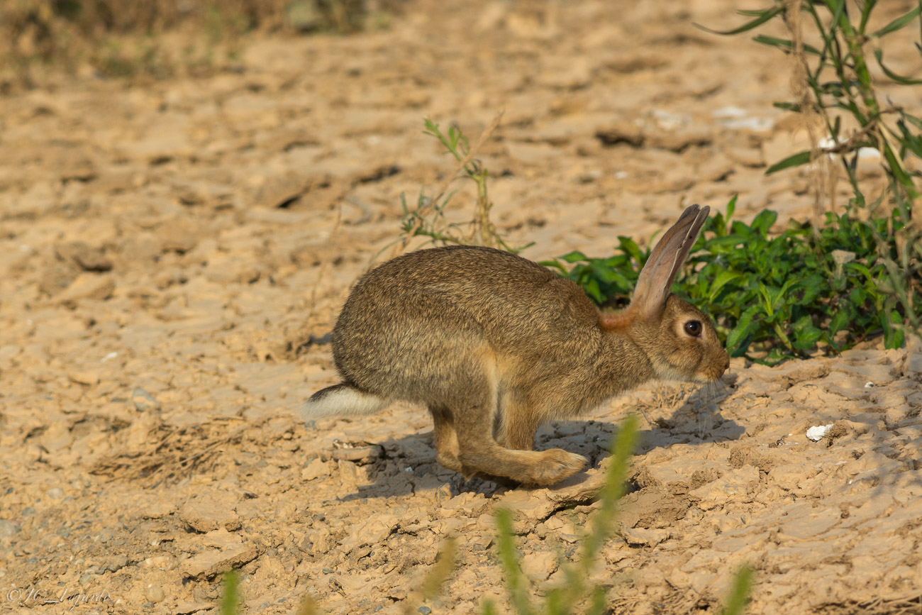 Conejo común, Rabbit, Oryctolagus cuniculus