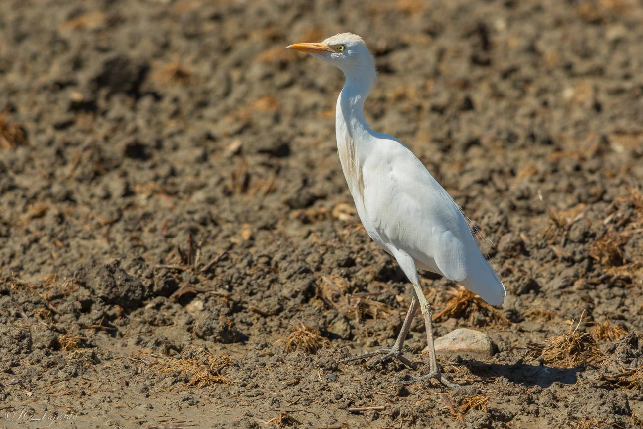 Garcilla Bueyera / Bubulcus ibis