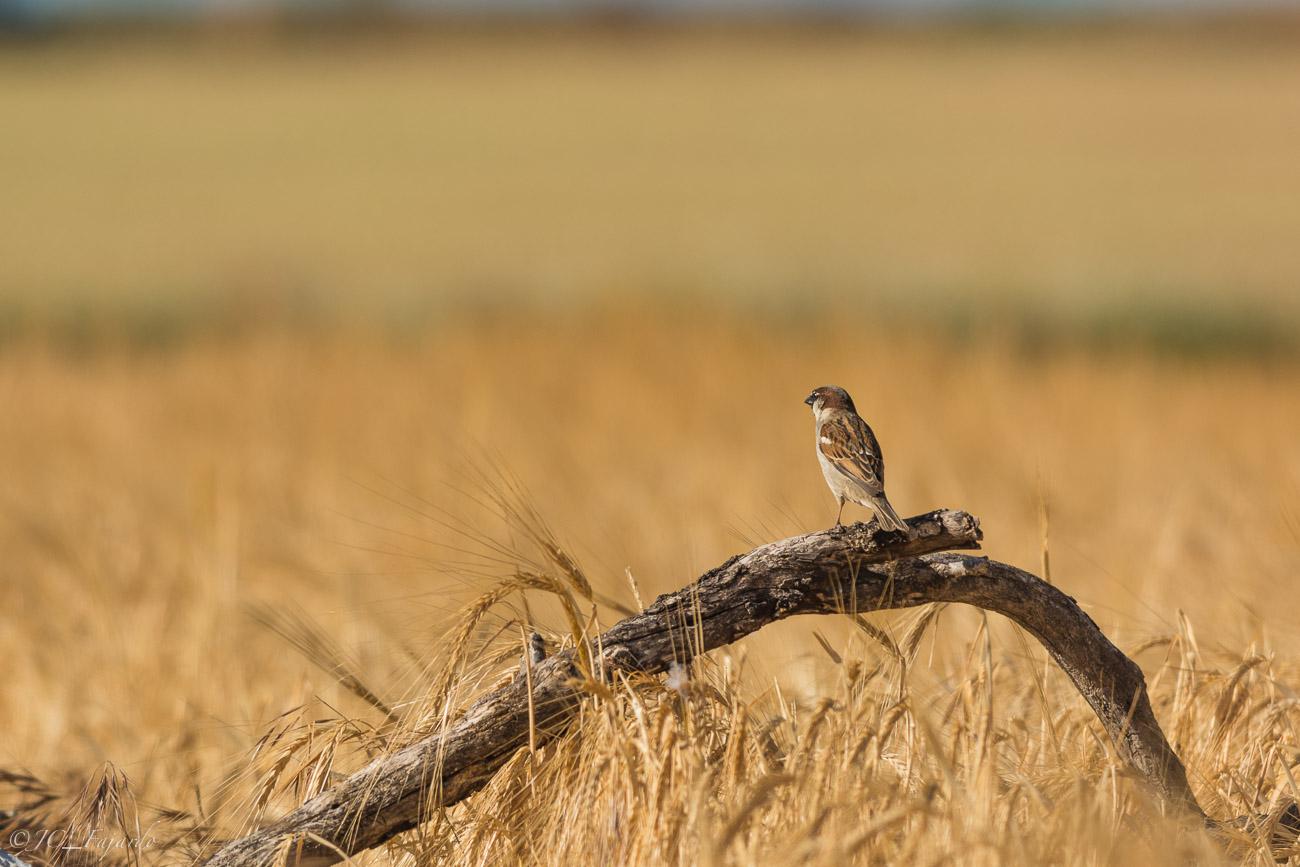 Gorrión común, House sparrow, Passer domesticus