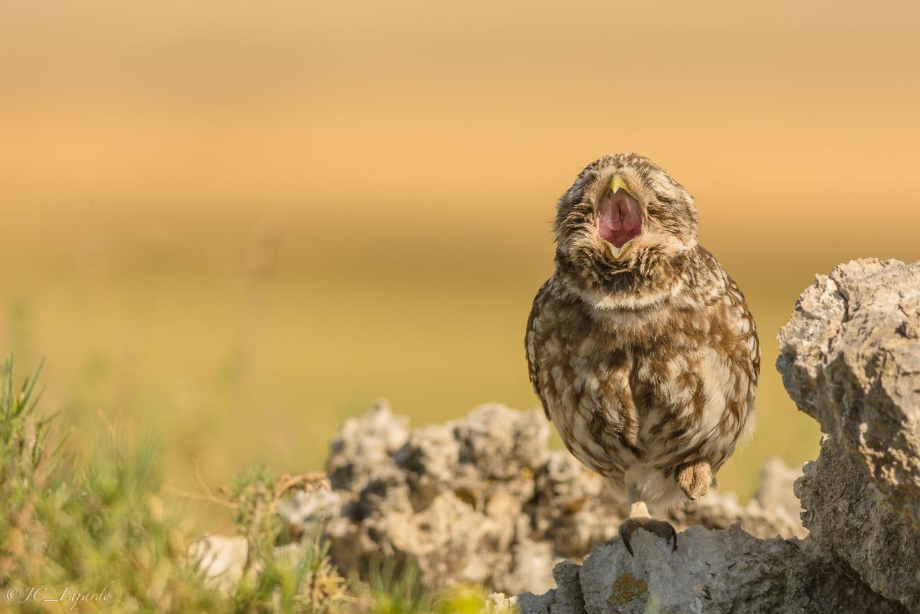 Mochuelo europeo, Little owl, Athene noctua