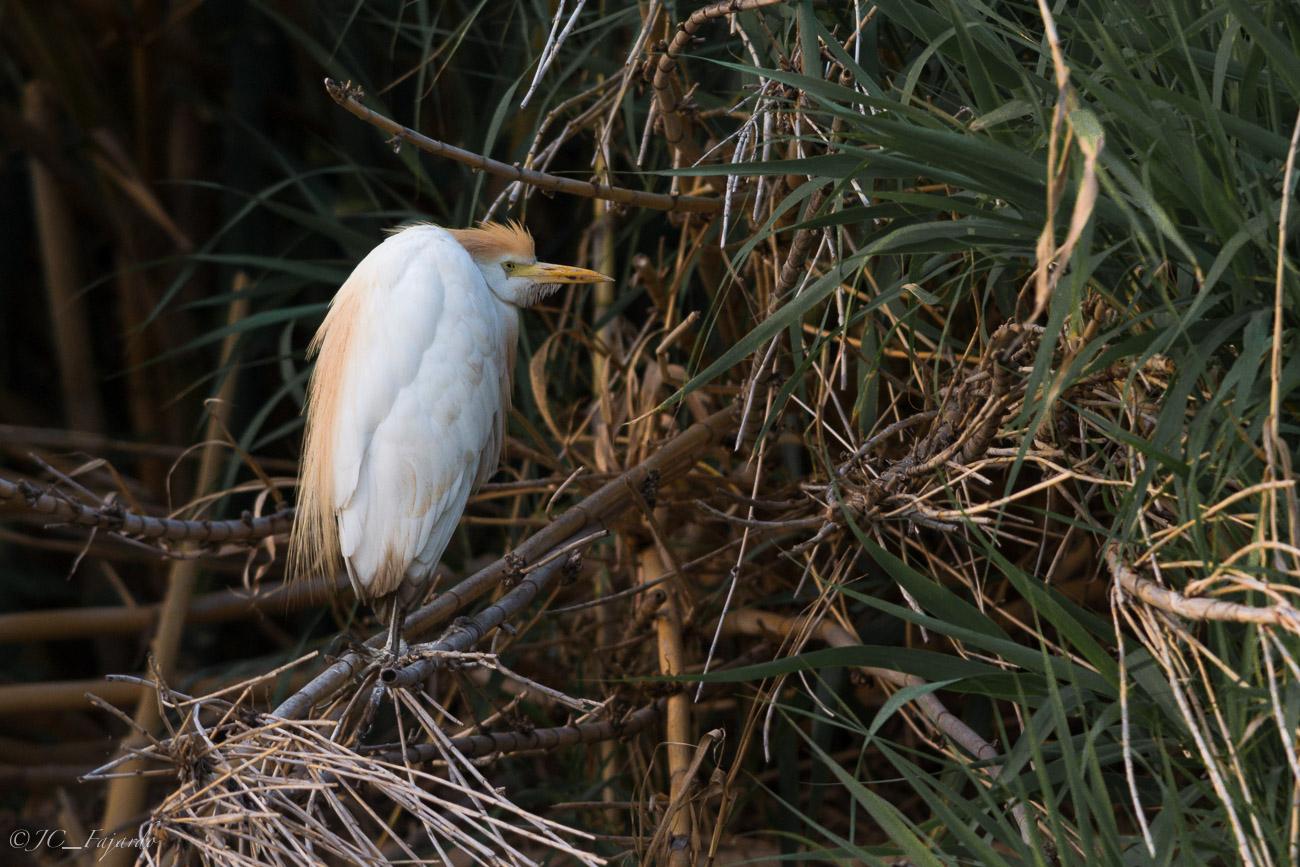 Garcilla bueyera, Cattle egret, Bubulcus ibis