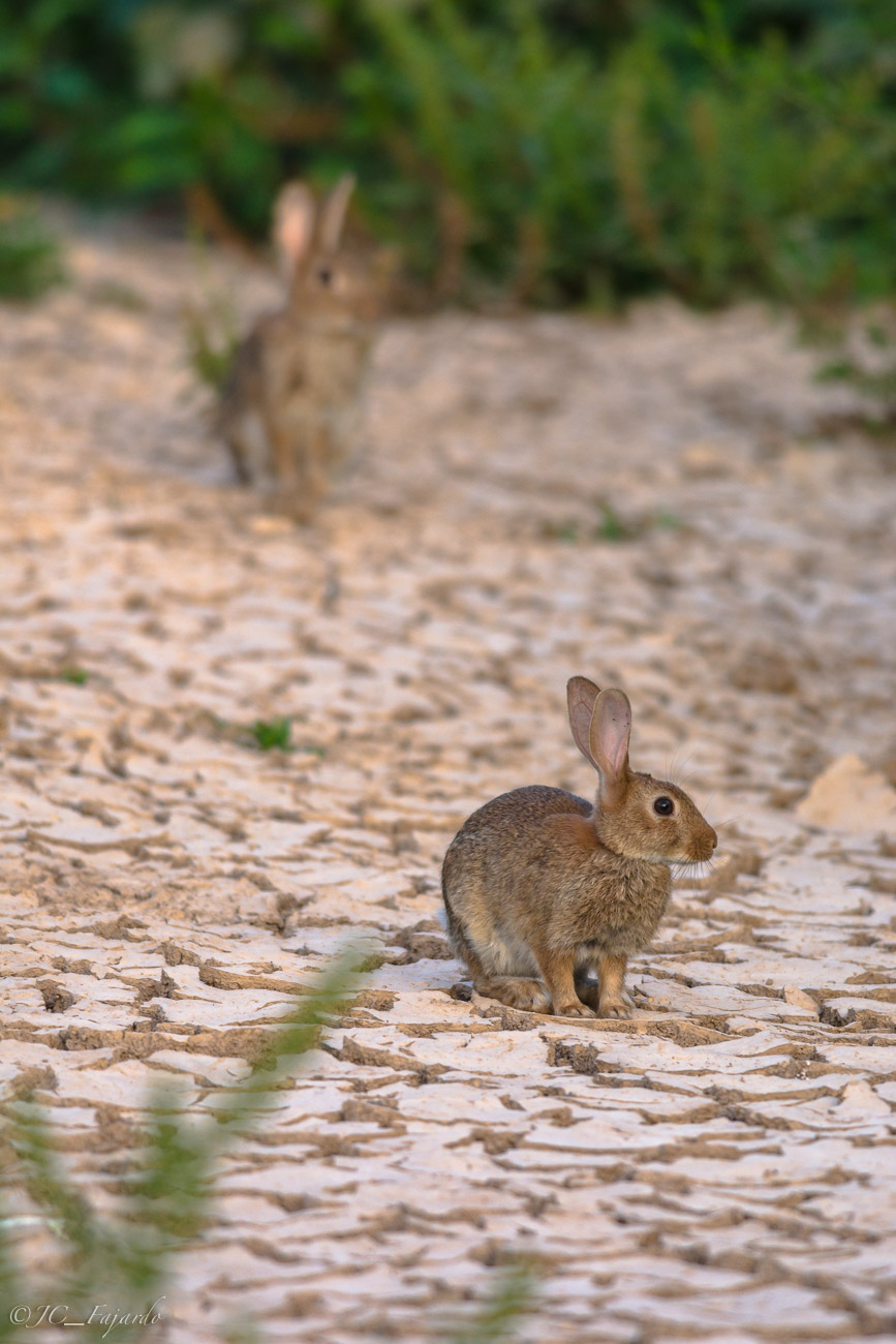 Conejo común, Rabbit, Oryctolagus cuniculus desde hide con red de camuflaje