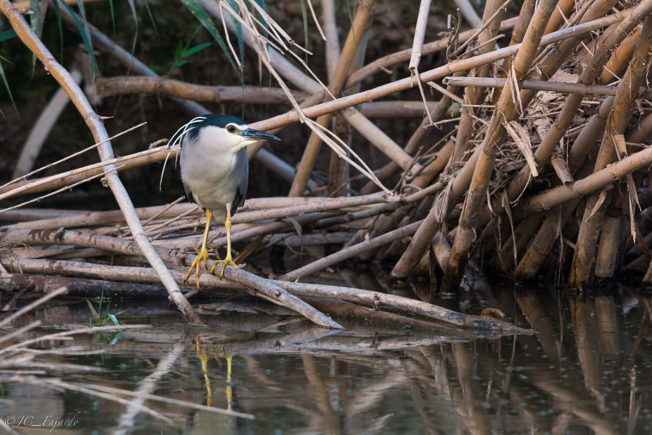 Martinete común, Night heron, Nycticorax nycticorax
